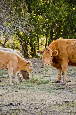 HUNGRY FOR MORE:  A cow and two calves eat hay strewn across the barren ground on Dick Nock's ranch near Morro Bay. While some rain has come, more is needed in order for a decent grass crop. - PHOTO BY HENRY BRUINGTON