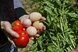 CORNACOPIA:  Tomatoes, eggs, and basil barely scratch the surface of the variety of veggies in George and Liz's garden. - PHOTO BY GLEN STARKEY