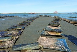 TO THE HORIZON :  The Morro Bay Oyster Company has a little more than 100 acres of land in its farm. Shown here are the oyster bags at low tide. - PHOTOS BY STEVE E. MILLER