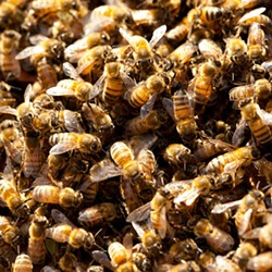 NO PROBLEM :  Amateur beekeepers say the county is overly cautious about their hobby, which they contend presents no health hazard but benefits to agriculture. - PHOTO BY STEVE E. MILLER