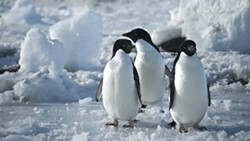 COOL WADDLINGS:  Who could pass up the chance to see these adorable little guys in 'Antarctica: A Year on Ice' from the warmth and comfort of a plush theater seat? - PHOTO COURTESY OF WENDY EIDSON/SLOIFF