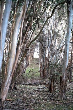 UNHARVESTED CROP :  Telling the difference between agricultural eucalyptus and a wild grove is as simple as noting the alignment of the trees themselves. This field of blue gums is part of a greater plantation that once dominated large sections of the state park now known as Montana de Oro. - PHOTO BY JESSE ACOSTA