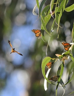 A PLACE FIT FOR A MONARCH:  Celebrate Western Monarch Butterfly Day on Feb. 5 by viewing the Monarchs before they begin their migration back to Canada in March. Visit the Pismo Monarch Grove on Highway 1 at the south boundary of the city of Pismo Beach, north of Grand Avenue. For more info about the butterfly palace, visit butterflypalace.org or e-mail monarchwest@sbcglobal.net. The nonprofit nature group can also be reached at 929-0887. - CHRISTOPHER GARDNER