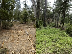 FIRE-SAFE OR SCALPED? :  Zealous fire fuel reduction efforts in Cambria's Monterey pine forest are upsetting some residents who worry about the future of the forest and its wildlife. Pictured is two sides of the same Cambria road, one cleared of undergrowth. - PHOTO BY STEVE E. MILLER