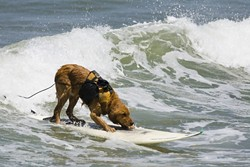 HANG PAW :  Saint, the famous local surfing dog, is putting his aquatic talent toward a good cause with an upcoming Surf Dog Surf-a-Thon. - PHOTO COURTESY OF MIKE BAIRD