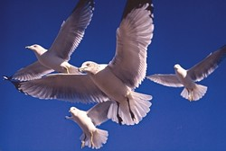 HOVERING GULLS:  Honorable Mention 2 - JAMES LITTLE