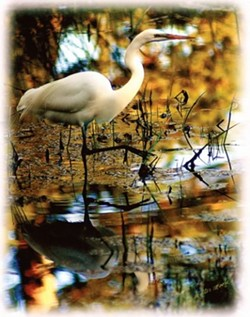 """""""WADING EGRET� SECOND PLACE ANIMALS - COLOR: - WALTER MOORE"""