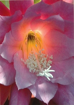 EPIPHYLLUM ILLUMINATED:  Third Place - SUSAN MORASCA