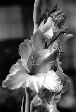 """GLADIOLA� SECOND PLACE FLORA - BW: - LESLIE BRYSON"
