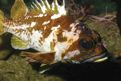 PROTECTED MARINE LIFE :  No-fishing zones known as Marine Protected Areas go into effect off of SLO County on Sept. 21. The areas are designed to conserve ocean ecosystems including species such as the copper rockfish. - PHOTO COURTESY OF NOAA/MBNMS