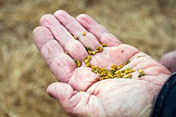 SEEDS OF CHANGE :  Sweet-smelling Fenugreek seeds from Kandarian organic Farms give a kick to salads. - PHOTO BY SARA POPP