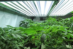 ROOM TO GROW:   Arroyo Grande modified its city policy to allow for qualified patients to grow medical marijuana. It also established a permit process for delivery services. - FILE PHOTO BY DYLAN HONEA-BAUMANN
