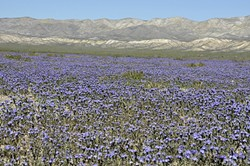PURPLE POWER:  The violet of phacelia paints portions of the plain like a grape-juice stain spilled on the barren landscape. - PHOTO BY CAMILLIA LANHAM