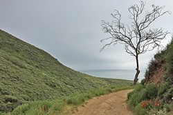 AROUND THE BEND:  A lone tree hangs out beside the Headlands Trail, just before it opens up to panoramic views. - PHOTO BY TREVER DIAS