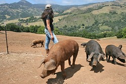 HAPPY PIGS:  Heritage breed pigs are fed on a sumptuous diet of leftover goat cheese whey and avocados at Stepladder Ranch. - PHOTO BY AMY JOSEPH