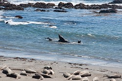 BATTLES :  Bulls battle it out—or practice battling it out—at the beach at Piedras Blancas during the summer months. - PHOTO BY CAMILLIA LANHAM
