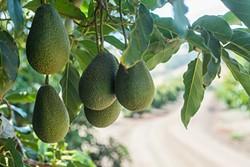 HANG TIME:  Hass avocados ripen to creamy perfection on Bill Coy's avocado farm, Rancho Rio Conejo, tucked away in rural Cayucos. - PHOTO BY AMANDA ROMERO