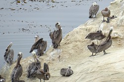 PELICAN POD:  Dozens of preening pelicans rest between meals on the rocky outcroppings rising from the Pacific. - PHOTO BY GLEN STARKEY
