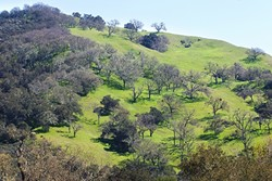 SAVE THE OAK:  On April 11, the SLO County Board of Supervisors will make a decision on an oak woodland ordinance that would require property owners to seek a permit to clear-cut more than 1 acre of oaks. - PHOTO BY JAYSON MELLOM
