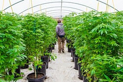 """LEGAL BUSINESS:  Dominatrix owner Aaron Wright walks down one of his medical marijuana greenhouses in South County: """"It's not much different than all the other hoop houses in town,"""" he says. - PHOTO BY JAYSON MELLOM"""
