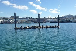 ONE BIG FAMILY:  The sea lions of Morro Bay were rambunctious on this beautiful Sunday. They were unrelenting in their sparring and barking. - PHOTO BY PETER JOHNSON