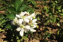 POLLINATOR:  Bees buzz along the rows of berry trellises between Linn's farm store and Santa Rosa Creek Road. - PHOTO BY CAMILLIA LANHAM
