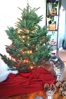 AFTER:  The tree we picked out was 3 to 4 feet tall. I had ambitions for a 10-footer, but it wasn't meant to be in a small space. As you can see, our cat isn't so sure about the set up. - PHOTO BY PETER JOHNSON