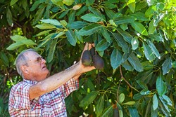 THE THRILL :  After more than three decades in the grove, Cayucos avocado farmer Bill Coy is still thrilled to pick a plump, firm Hass avocado at peak season. - PHOTO BY AMANDA ROMERO
