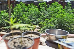 GOING GREEN:  Medical marijuana businesses can begin applying for permits to operate in Grover Beach next month, after the City Council approved new zoning and permitting regulations May 15. - FILE PHOTO BY KAORI FUNAHASHI
