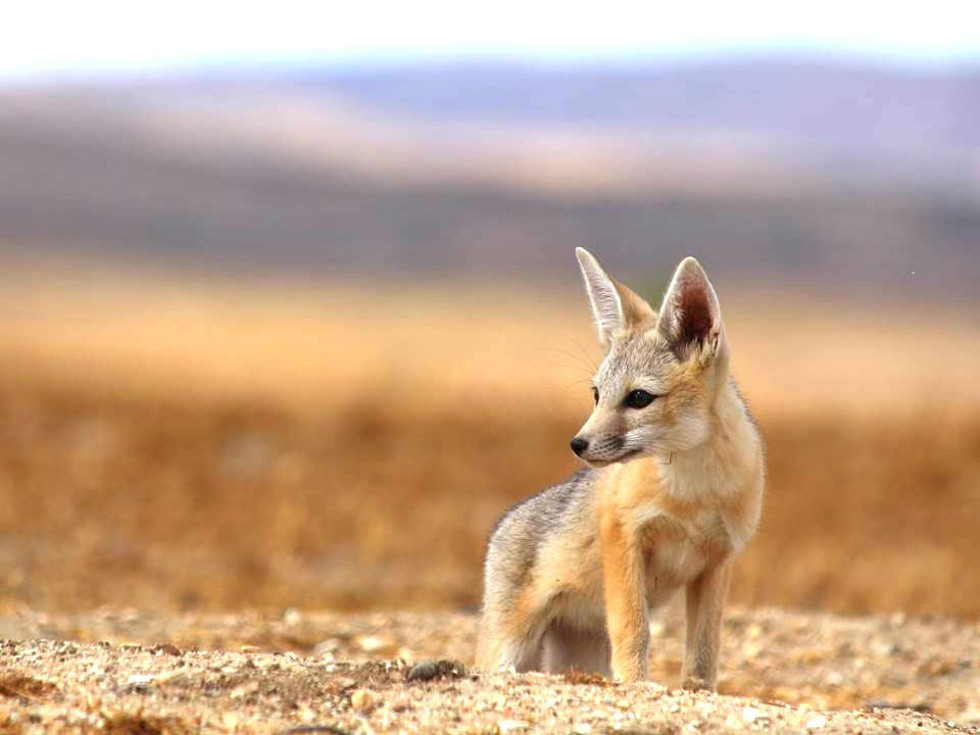 JUST A PUP A San Joaquin kit fox pokes its head out of its mother's underground den. It's one of four animal species on the Carrizo Plain that are state- and federally listed as endangered. - PHOTO COURTESY OF CALIFORNIA DEPARTMENT OF FISH AND WILDLIFE