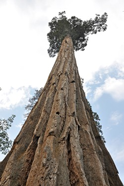 A GIANT Trying to view the top of one of the largest trees on the planet is a gander up 200-plus feet of giant sequoia bark along the Trail of 100 Giants. - PHOTO BY CAMILLIA LANHAM