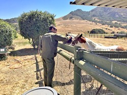 NEGLECTED SLO County Sheriff Ian Parkinson checks on one of 11 horses seized from a California Valley property. Officials say the animals were left multiple for days without food and water in 100-degree temperatures. - PHOTO COURTESY OF THE SLO COUNTY SHERIFF'S OFFICE