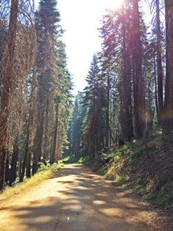 LOOK UP There are giant sequoia trees as far as the eye can see on the trail to Tuolumne Grove. - PHOTO BY RYAH COOLEY