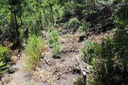 WEED WARNING The SLO County Sheriff's department is urging residents not to confront individuals who operate illegal marijuana grows like the one pictured above. - PHOTO COURTESY OF THE SLO COUNTY SHERIFF'S OFFICE
