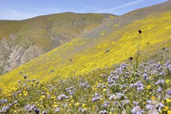 UNDER REVIEW President Donald Trump ordered Interior Secretary Ryan Zinke in April to review the statuses, boundaries, and protections of 27 national monuments—including SLO's Carrizo Plain. - FILE PHOTO BY CAMILLIA LANHAM