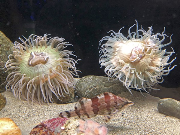 BEAUTIFUL While some sea anemones are poisonous to humans, these ones aren't, but they still shouldn't be handled. - PHOTO BY GLEN STARKEY