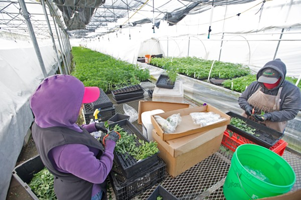 """CLIPING FOR CLONES Workers at the CFAM nursery clip """"mother"""" cannabis plants, preparing them to be replanted as clones. - PHOTO BY JAYSON MELLOM"""