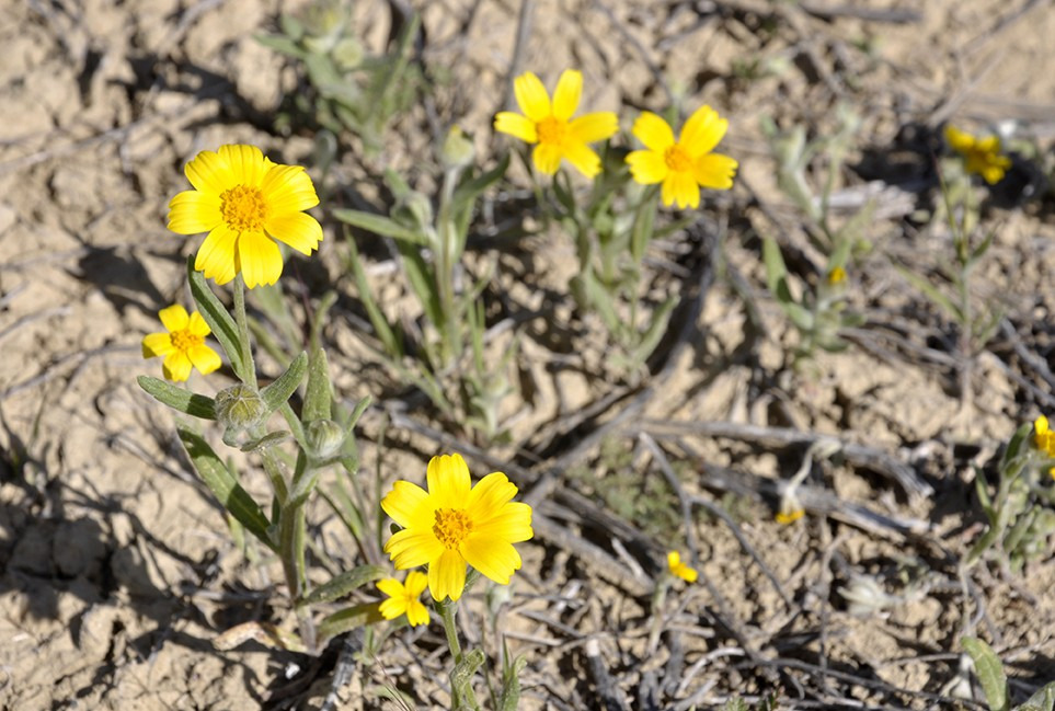 FOUND THEM! Yellow tidy tips cluster at the end of a dirt road above the valley floor, hidden from the view of Soda Lake Road drivers. - PHOTO BY CAMILLIA LANHAM