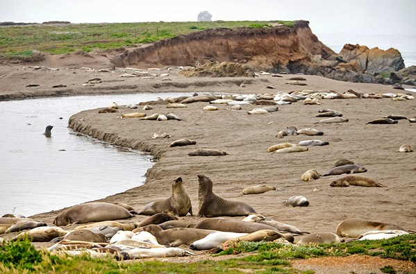 NEW BIRTHPLACE In the last three years, the beach at Arroyo del Corral Creek has morphed into a birthing spot for elephant seals. State Parks is proposing a campground less than 100 yards from the sand. - PHOTO BY JAYSON MELLOM