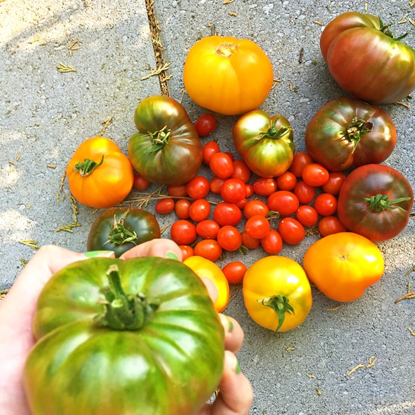 RIPE AND READY Heirloom tomatoes are at peak ripeness in Hayley's SLO garden and at Windrose Farm in Paso Robles. If you didn't get a chance to grow your own this year, you might want to head to Paso for the annual Heirloom Tomato Festival, where the bounty is downright bodacious. Presented in partnership with FARMstead ED, the fest kicks off Saturday, Sept. 22, with more than 30 varieties ripe for the tasing. - PHOTO BY HAYLEY THOMAS CAIN
