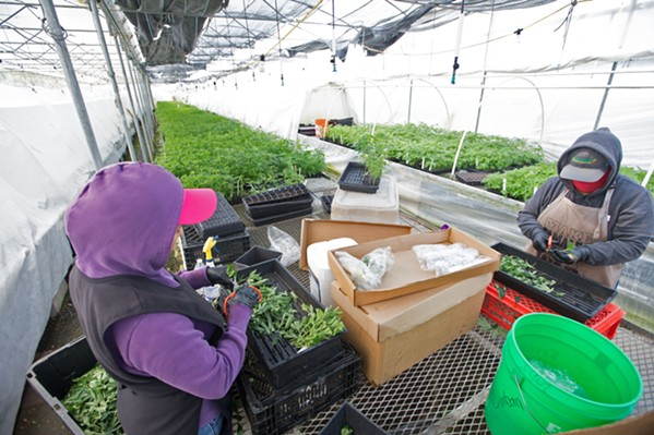 """PACKING PLANTS Employees at a cannabis cultivation operation in Nipomo prepare """"mother"""" cannabis plants to be clones. - FILE PHOTO BY JAYSON MELLOM"""