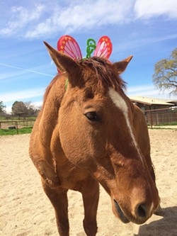 "A GENTLE CLOWN Partners in Equestrian Therapy (PET) is raising money to help with ongoing medical treatment and medication for one of its ""go to"" horses, Chief Four Socks. - PHOTO BY COURTSEY OF PET"