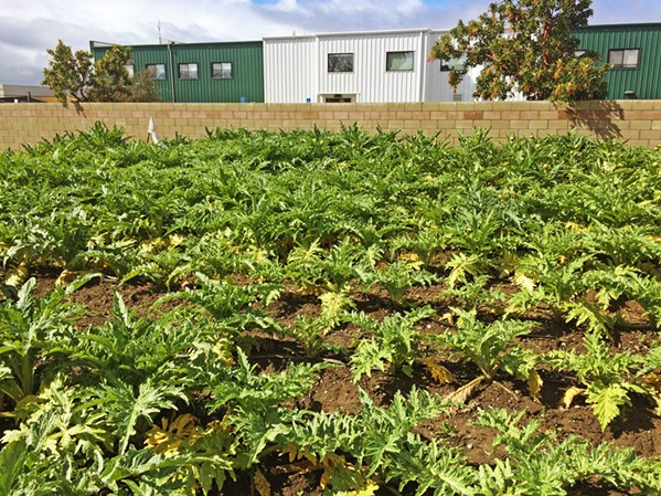 FIELD OF GREENS Blosser Urban Garden in Santa Maria offers sustainable fresh produce grown locally. - PHOTO BY CHRIS MCGUINNESS