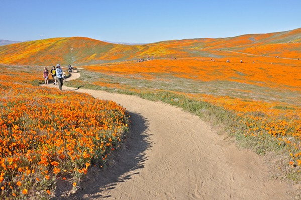ORANGE GLOW The Antelope Valley Poppy Preserve's 8 miles of trails loop over and around hillsides swathed in poppies from vista point to vista point—you're surrounded by people and flowers. - PHOTOS BY CAMILLIA LANHAM