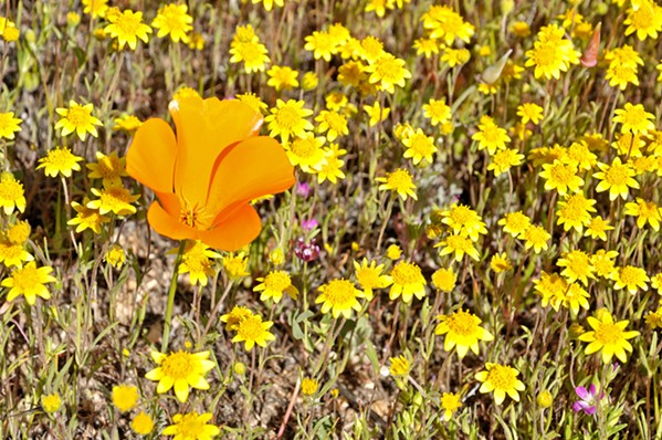 POPPING OFF California's state flower is in full bloom right now in the high desert of Southern California, but it's not the only flora populating the Golden State. - PHOTOS BY CAMILLIA LANHAM