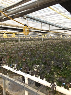 RAIDED Santa Barbara County Sheriff's authorities executed a search warrant at a cannabis grow in Los Alamos with hundreds of thousands of allegedly illegal plants (pictured). Cannabis from the site was being sold at 805 Beach Breaks in Grover Beach, according to sheriff's officials. - PHOTO COURTESY OF THE SANTA BARBARA COUNTY SHERIFF'S OFFICE