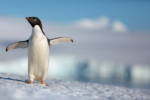 GO STEVE! Narrated by Ed Helms, Penguins tell the story of an Adélie penguin named Steve, who's on a quest to find a mate and start a family. - PHOTO COURTESY OF DISNEYNATURE