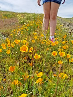 FIELD NOTES My daughter chose to research the state flower for her fourth grade California history project, a choice that prompted us to take a family hike on a sunny April afternoon. - PHOTO COURTESY OF BRET ROOKS