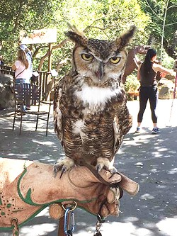 GIVE A HOOT Max, a great horned owl, was found as an orphaned nestling in 1998 and adopted by the Santa Barbara Audubon Society. - PHOTOS COURTESY OF CHRIS LAMBERT