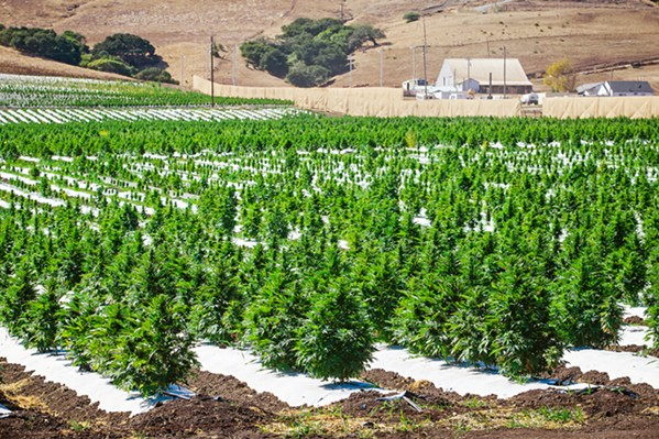 OUT IN THE OPEN Natural Healing Center, the Grover Beach cannabis dispensary company, is the group behind the large hemp farms on Los Osos Valley Road. The 37-acre grow is for agricultural research, the company says. - PHOTO BY JAYSON MELLOM